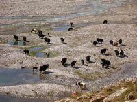 Стадо яков на разливах в верховьях реки Караказык Северный.